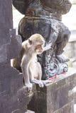 Affe in Uluwatu-Tempel, Bali-Insel Lizenzfreie Stockbilder
