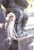 Affe in Uluwatu-Tempel, Bali-Insel Stockbild