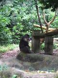 Affe und Affe in Singapur-Zoo Lizenzfreie Stockbilder