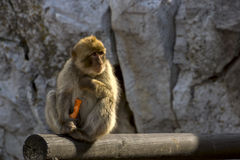 Affe und arrots Stockfotos