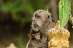 Affe und Baby in Indonesien Lizenzfreies Stockbild