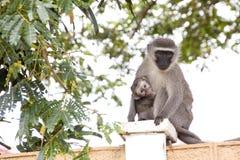 Affe und Baby Vervet, die auf Betonmauer sitzen Lizenzfreie Stockfotos
