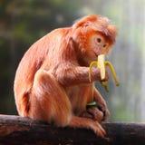 Affe und Banane Stockfotografie