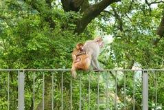 Affe und ihr Sohn sitzen auf dem Gestell Lizenzfreie Stockfotos