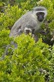Affe und Junge Vervit Lizenzfreie Stockfotos