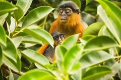 Affe und junges Sitzen zwischen Blättern Lizenzfreie Stockfotos