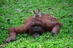 Affe und Katze, die zusammen spielen Stockfotografie
