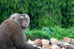 Affe und Kokosnüsse Lizenzfreies Stockfoto