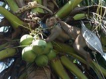 Affe und Kokosnuss an der Palme Lizenzfreies Stockbild