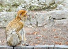 Affe und natürlicher Hintergrund am Zoo Barbary-Makaken, der auf Bretterzaun sitzt Stockfoto