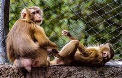 Affe und seine Frau Lizenzfreie Stockfotos