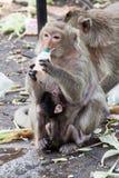 Affe und Trinkmilch des Babys im Park Stockbilder