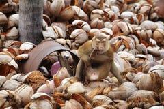 Affe und viel Kokosnuss Stockfotos