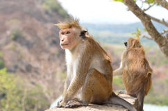 Affe untersucht den Abstand Lizenzfreie Stockfotos