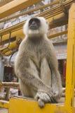 Affe in Varanasi, Indien Lizenzfreie Stockfotografie