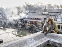 Affe an Verbrennung ghats Stockbilder