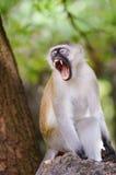 Affe vervet auf einer Niederlassung Lizenzfreie Stockfotos