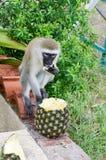 Affe vervet auf einer niedrigen Mauer Stockbild