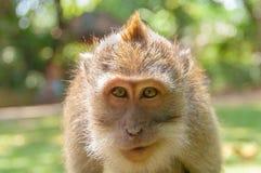 Affe von der Insel Bali Lizenzfreie Stockfotos