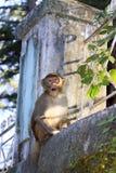 Affe von Dharamshala-Stadt. Lizenzfreies Stockfoto