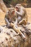 Affe von Dharamshala-Stadt. Stockbild