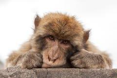 Affe von Gibraltar Lizenzfreie Stockfotografie