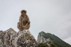 Affe von Gibraltar Lizenzfreie Stockbilder