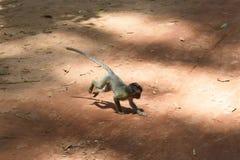 Affe von Kambodscha Lizenzfreie Stockfotos