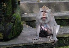 Affe-Wald, Ubud, Bali Stockfotografie