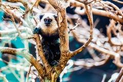 Affe weiß-gesichtiger Capuchin Lizenzfreie Stockfotografie