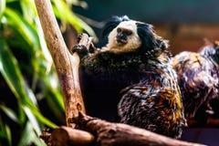 Affe weiß-gesichtiger Capuchin Lizenzfreie Stockbilder