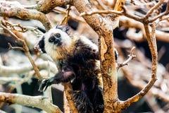 Affe weiß-gesichtiger Capuchin Lizenzfreies Stockbild