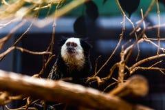 Affe weiß-gesichtiger Capuchin Stockbild