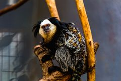 Affe weiß-gesichtiger Capuchin Stockfotografie