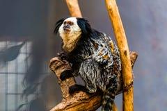 Affe weiß-gesichtiger Capuchin Lizenzfreies Stockfoto