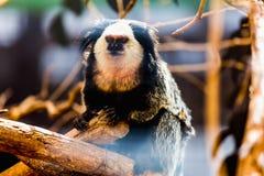 Affe weiß-gesichtiger Capuchin Lizenzfreie Stockfotos