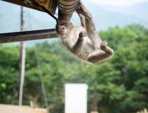 Affe, welche nach Erfrischung sucht Lizenzfreies Stockfoto