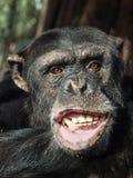 Affe, wenn auf etwas Lebensmittel gewartet wird Lizenzfreie Stockbilder