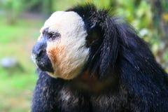 Affe am Zoo Stockfotografie