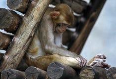 Affe zwei Stockbild
