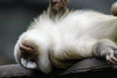 Affe zwei Lizenzfreie Stockbilder