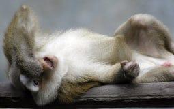 Affe zwei Lizenzfreies Stockfoto