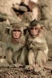 Affe zwei Stockfotografie