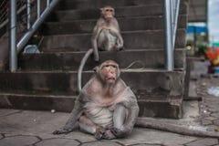 Affe zwei Lizenzfreie Stockfotografie