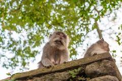 Affe zwei auf einer Leiste Stockfoto