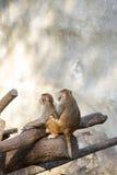Affe zwei, der auf dem trockenen Baum sitzt Lizenzfreie Stockfotos