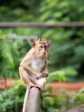 Affe zwei, der auf dem Zaun und dem Schauen sitzt Lizenzfreies Stockbild