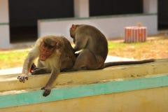 Affe zwei, der auf der Wand sitzt, Lizenzfreies Stockbild