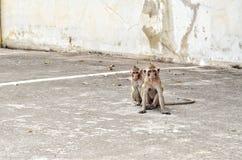 Affe zwei setzen sich hin Stockbilder