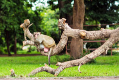 Affeaffe, der auf dem Baum sitzt Stockfotografie